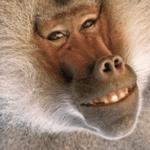 cute_baboon-7665