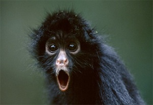 shocked-monkey